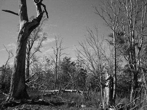 白骨化した広葉樹が集中する尾根筋